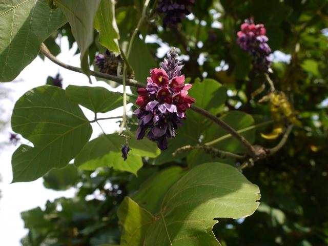 シボヘール|葛の花由来イソフラボン